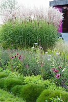 Flowering purple echinacea and ornamental grasses in well-tended garden