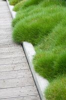 Bearskin Fescue lining wooden walkway with edging in garden