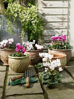 Cyclamen in pots with floral structured patterns on terrace floor