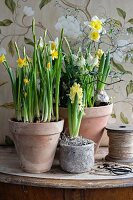 Narcissus, yellow hyacinths and white grape hyacinths in terracotta pots
