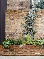 Raised bed with brick front below ivy growing over garden wall