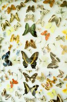 Colourful mounted butterflies in display case