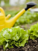 Watering can in lettuce bed