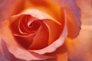 Apricot coloured rose (close-up)