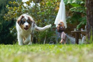 Australian Shepherd in garden being filmed by woman in background
