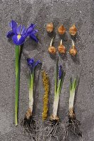 Iris and iris bulbs at various stages of growth