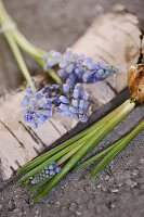 Grape hyacinth flowers and bulbs on birch bark