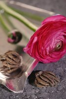 Red ranunculus flower and bulbs