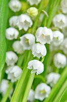 Flowering lily-of-the-valley (close-up)