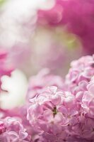 Pink-flowering lilac (close-up)