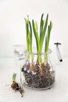 Narcissus with flower buds, bulbs and roots planted in glass container