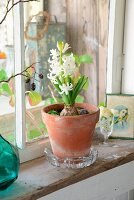 White hyacinth in terracotta pot on vintage windowsill in rustic surroundings