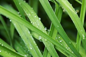 Droplets of water on green leaves
