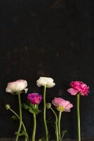 Ranunculus against black background