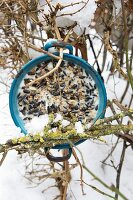Vintage saucepan filled with bird cake hung from snowy beech hedge