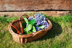 Blue hydrangeas and secateurs in wicker basket on lawn