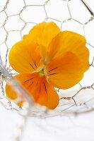 A yellow pansy in a wire basket (close-up)