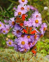 Peacock butterflies on purple asters in garden
