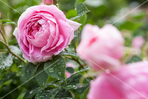 Italian rose garden is a treasure trove of fragrent old fashioned roses