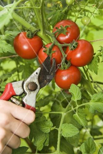 Безрассадный способ выращивания помидоров 11