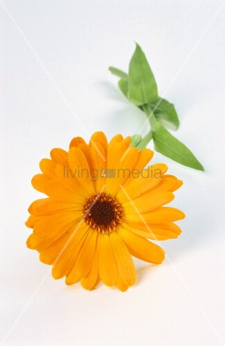 eine ringelblume bot calendula officinalis bild kaufen living4media. Black Bedroom Furniture Sets. Home Design Ideas