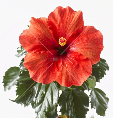 red hibiscus flower with leaves bild kaufen living4media. Black Bedroom Furniture Sets. Home Design Ideas
