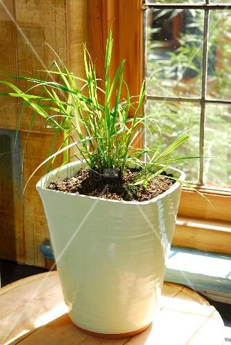 Lemongrass in white plant pot – Bild kaufen – living4media