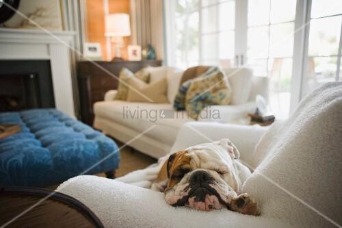 schlafender hund auf polstersessel und verschiedene polsterm bel vor kamin bild kaufen. Black Bedroom Furniture Sets. Home Design Ideas