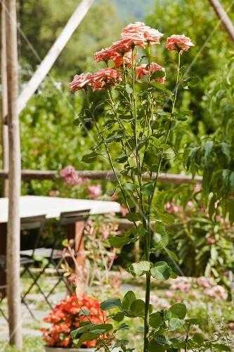 Bl hende rosen im sommerlichen garten bild kaufen for Innendesigner schweiz