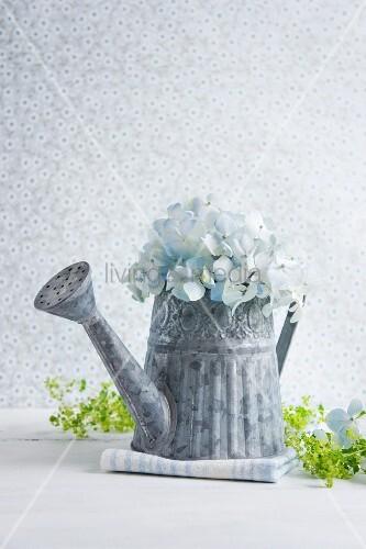 hortensien in einer giesskanne aus zink daneben frauenmantel bild kaufen living4media. Black Bedroom Furniture Sets. Home Design Ideas