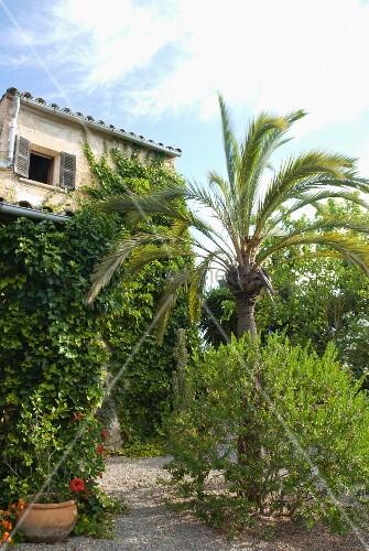 palme in mediterranem garten und beranktes wohnhaus bild. Black Bedroom Furniture Sets. Home Design Ideas