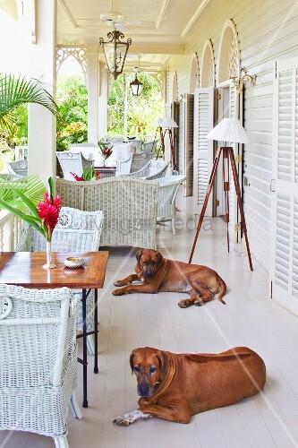 elegante veranda mit weissen rattanm beln und hunde auf weissem dielenboden vor geb ude im. Black Bedroom Furniture Sets. Home Design Ideas