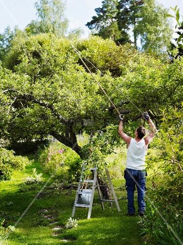 mann beschneidet mit baumschere apfelbaum im garten bild kaufen living4media. Black Bedroom Furniture Sets. Home Design Ideas