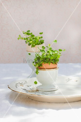how to grow alfalfa sprouts in soil