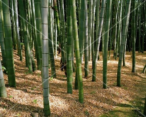 bambus wald in kyoto japan bild kaufen living4media. Black Bedroom Furniture Sets. Home Design Ideas