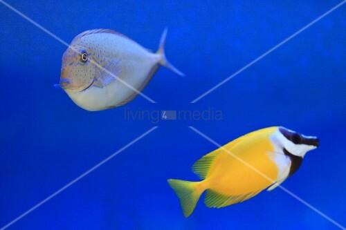 Zwei zierfische im aquarium bild kaufen living4media for Zierfische aquarium