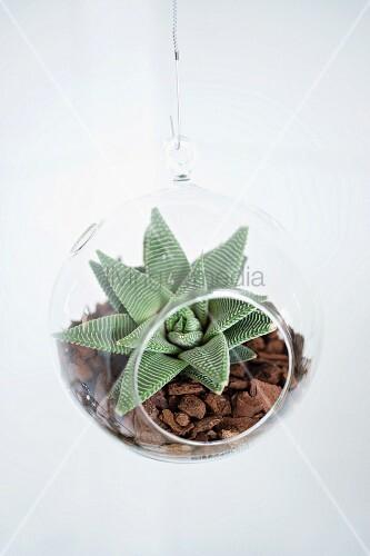 pflanzkugel aus acrylglas mit sukkulente auf mulchbett bild kaufen living4media. Black Bedroom Furniture Sets. Home Design Ideas