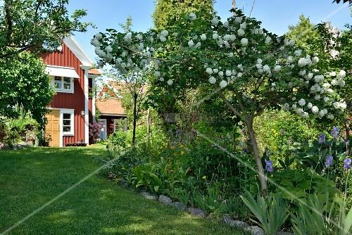 schneeball baum in sommerlichem garten im hintergrund schwedenhaus bild kaufen living4media. Black Bedroom Furniture Sets. Home Design Ideas