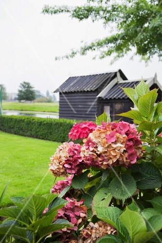 hortensien im garten vor hecke und holzhaus bild kaufen. Black Bedroom Furniture Sets. Home Design Ideas