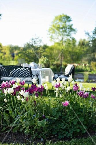 weisse und violette tulpen im hintergrund gedeckter tisch mit sitzbank und st hlen in. Black Bedroom Furniture Sets. Home Design Ideas