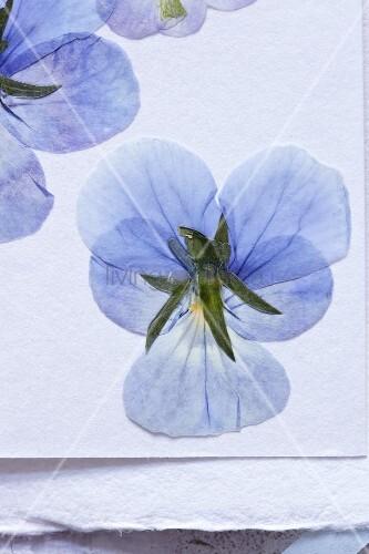 Getrocknete blaue Stiefmütterchenblüten (Nahaufnahme)