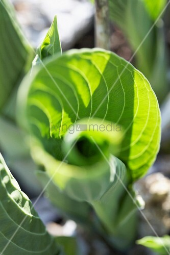 hosta leaves hosta elegans bild kaufen living4media. Black Bedroom Furniture Sets. Home Design Ideas