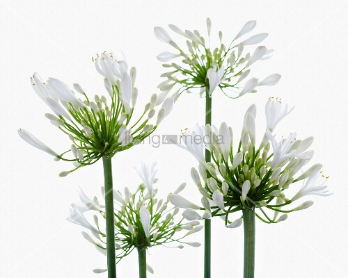 agapanthus flowers bild kaufen living4media. Black Bedroom Furniture Sets. Home Design Ideas