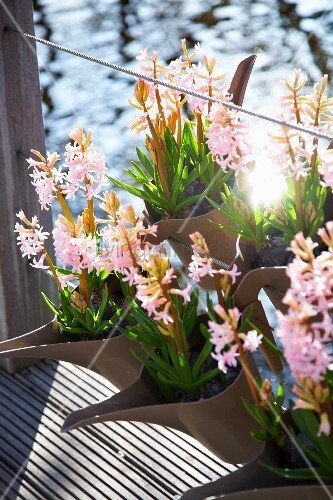 Pink hyacinth in plant containers bild kaufen living4media - Planting hyacinths pots ...
