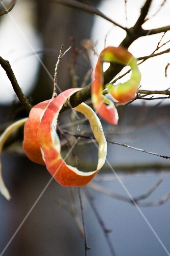 Apple peel rings on twigs – Bild kaufen – living4media