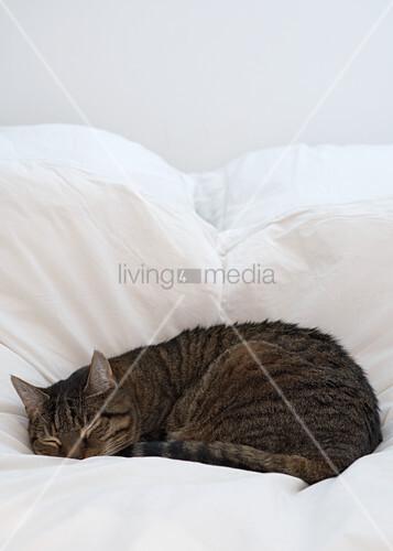 schlafende katze im bett mit weisser bettw sche bild kaufen living4media. Black Bedroom Furniture Sets. Home Design Ideas