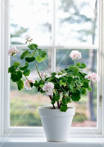 pelargonien im blumentopf am fenster bild kaufen. Black Bedroom Furniture Sets. Home Design Ideas