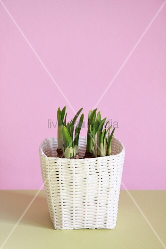 Hyacinth shoots in plant pot bild kaufen living4media - Planting hyacinths pots ...