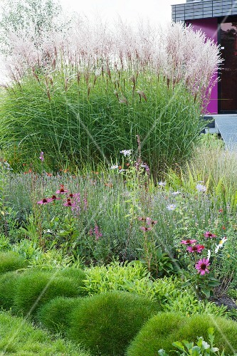 Flowering purple echinacea and ornamental grasses in well - The well tended perennial garden ...