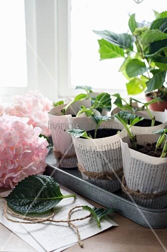 vermehrung von hortensien mit stecklingen in anzuchtt pfen bild kaufen living4media. Black Bedroom Furniture Sets. Home Design Ideas